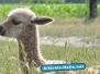 Alpaka Geburt 28.06.2010